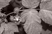 Rubus in Black an...