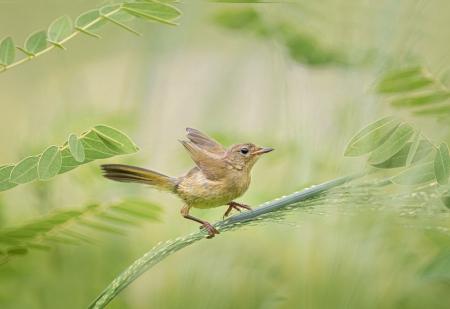 The Baby Common Yellowthroat