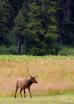 Roosevelt elk in ...