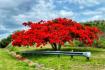 Flamboyán Tree