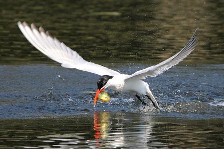 Tern grabbing lunch