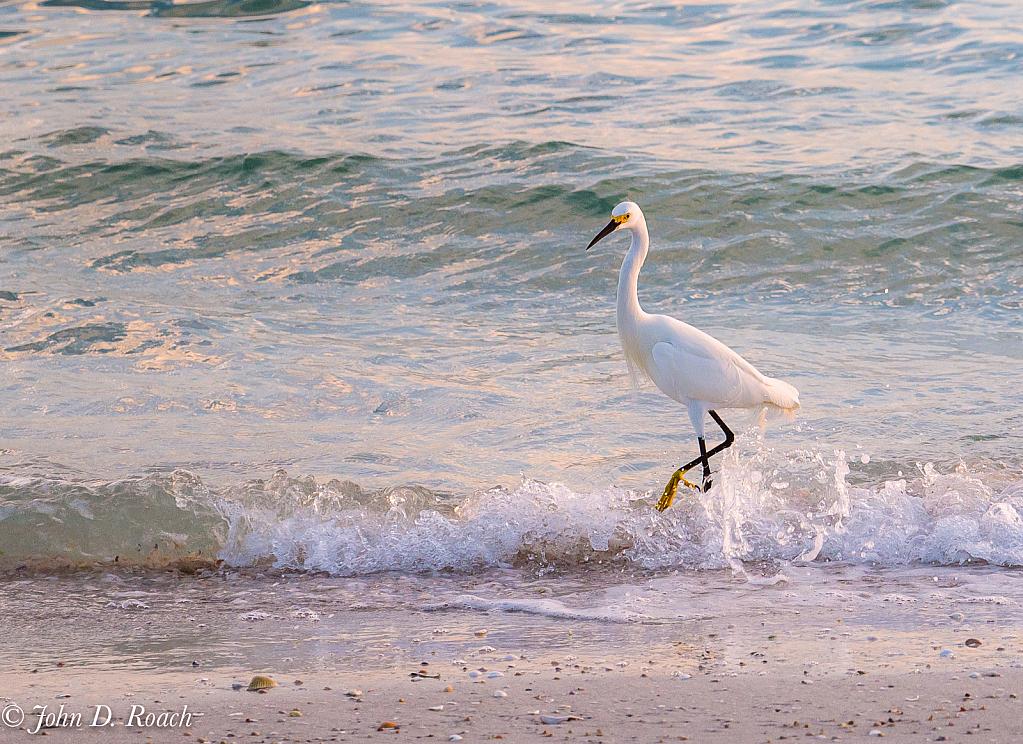 Strutt'n in the Surf - ID: 15939857 © John D. Roach