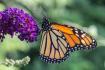 Monarch 4