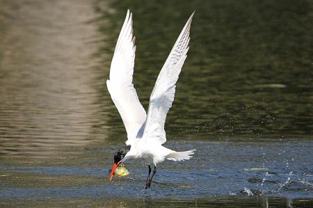 Tern grabbing lunch 2
