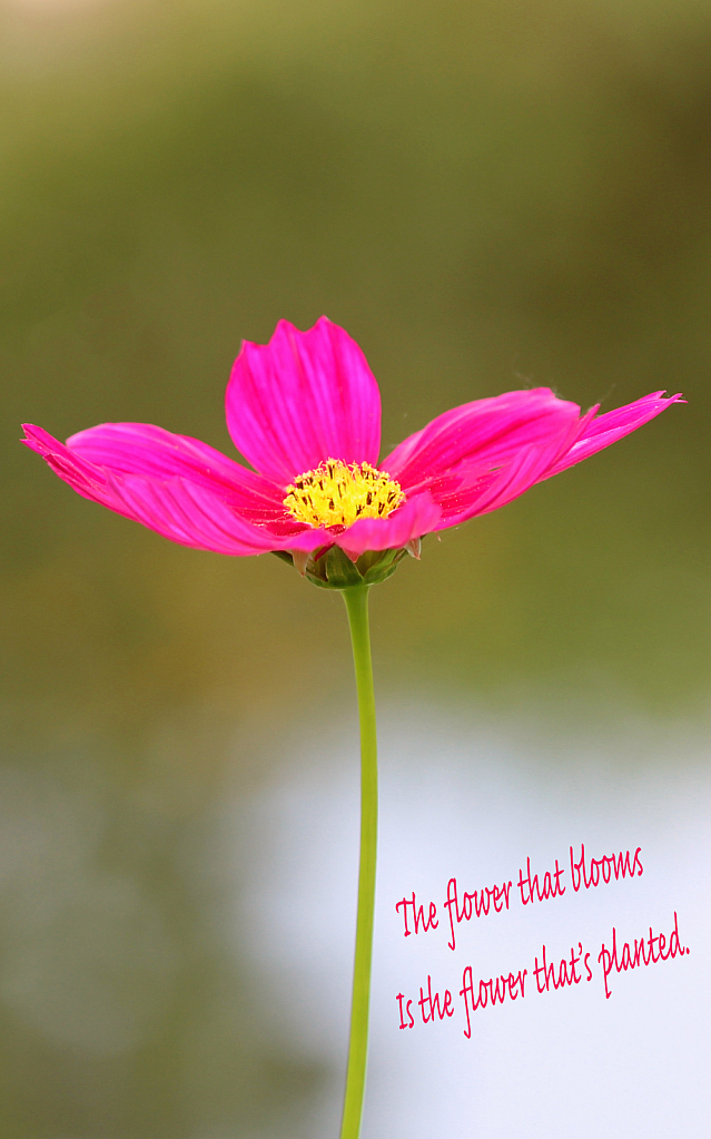The Flower That Blooms ....