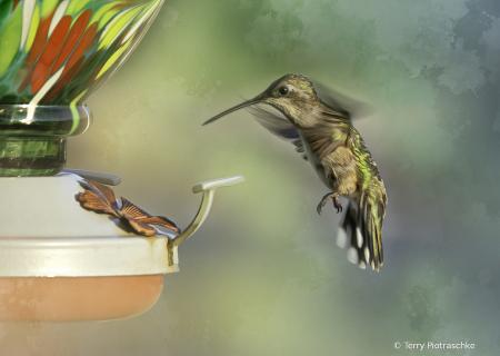 Hummingbird Arrival