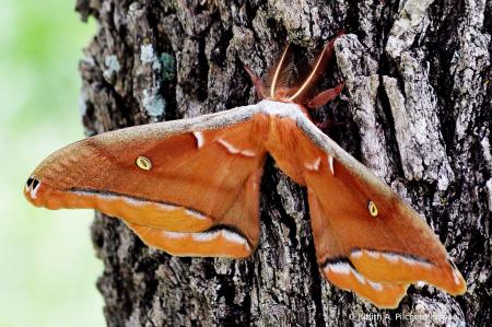 meet the polyphemus moth......