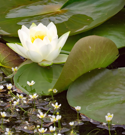 Prairie Pond Lily And Friends