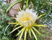 Pitaya In Bloom.