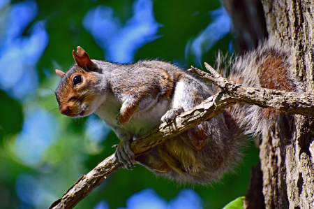 An Inquisitive Gray Squirrel