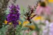 Hummingbird Clear...