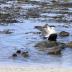 © Krista Cheney PhotoID# 15946779: Eider Ducks, Gardur, Iceland