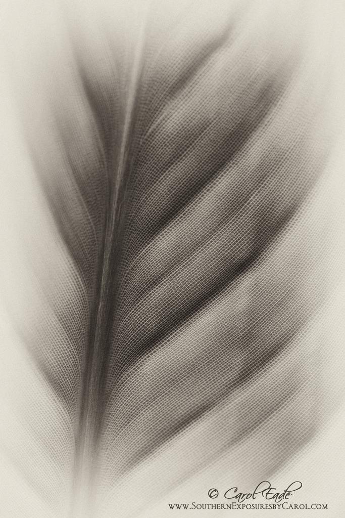 Bird of Paradise Frond - ID: 15947306 © Carol Eade
