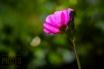 ~ ~ FUCHSIA PINK ...