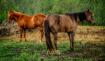 ~ ~ BARN HORSES ~...