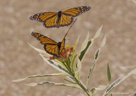 Two Monarchs