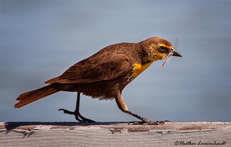 Female Yellow Headed Blackbird