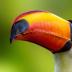 © Terry Korpela PhotoID# 15948998: Toucan Portrait