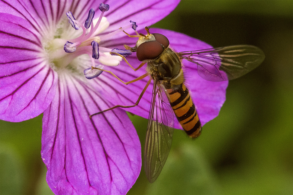 Hoverfly on Pink Geranium - ID: 15949026 © Susan Gallagher