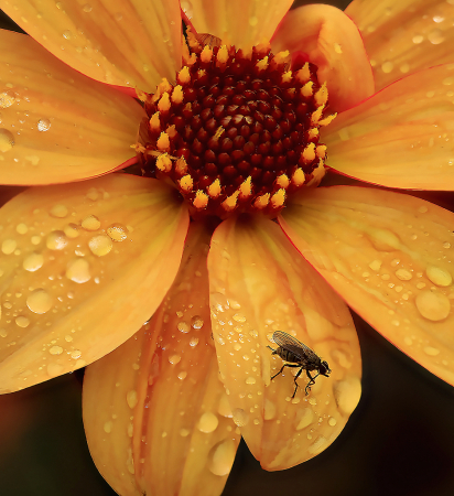 Yellow Dahlia and Fly