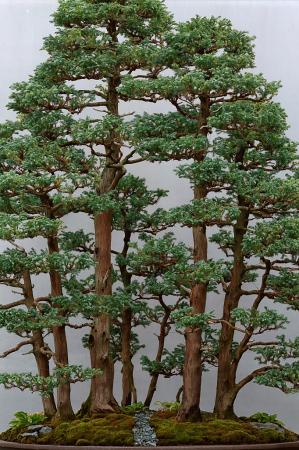 Sawara Cypress Forest