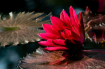 Nymphaea Red Flar...