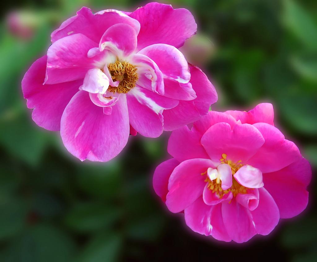Little Pink Dudes