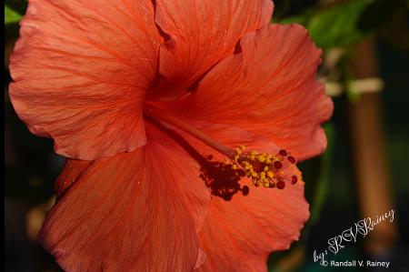 The Big Orange Hibiscus Flower...