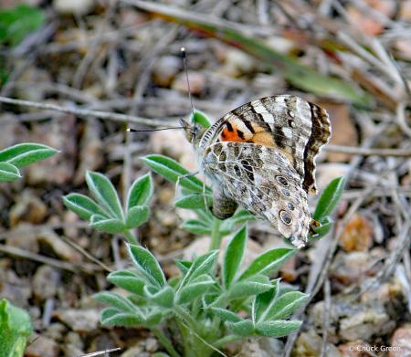 Wings Folded