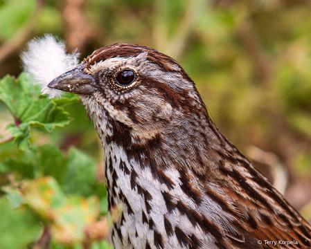 Song Sparrow (Head Shot)
