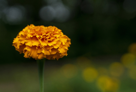 The Best Exotic Marigold