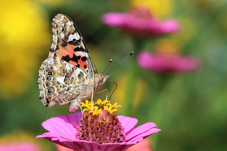 Painted Lady 2