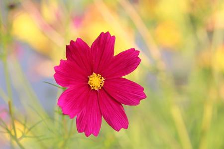 Rosy Wildflower