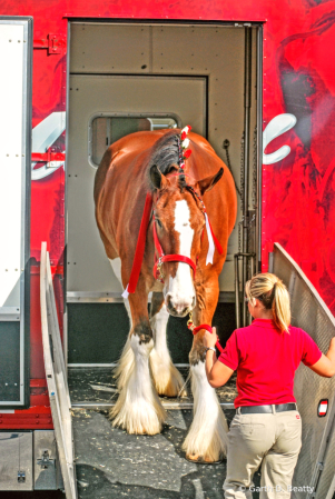 Bringing Out the Budweiser Clydesdale