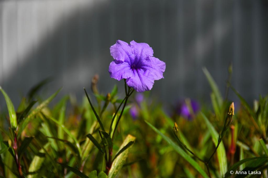 Proud purple