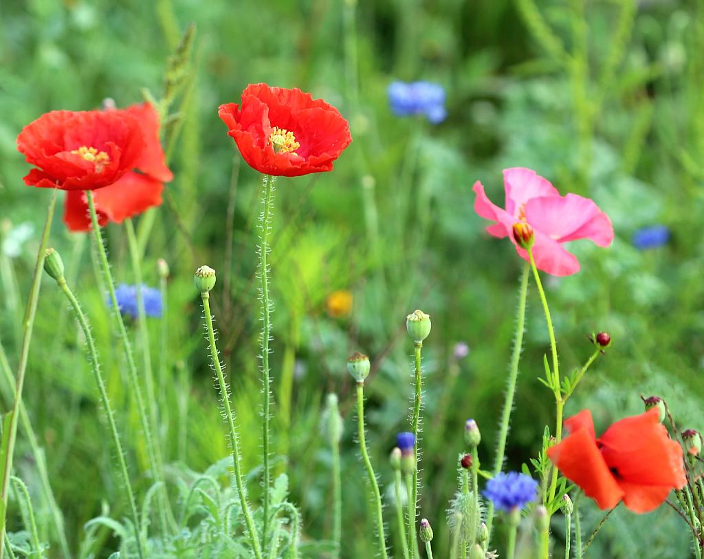 Poppies In The Wildflower Field