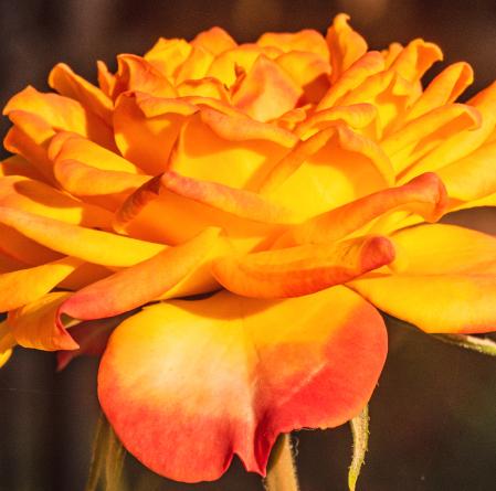 Red-Yellowish Beauty.