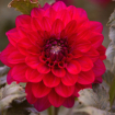 2017 Flower Dahli...