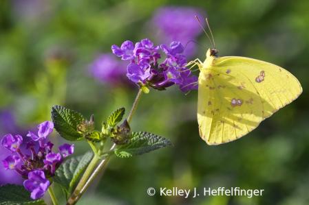 Butterfly at Breakfast