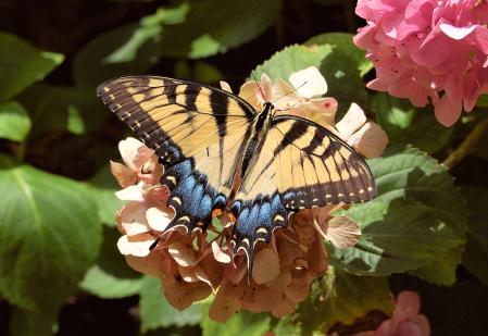 Butterfly Tableau