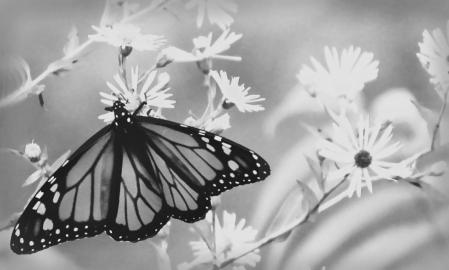 monarch, in b&w