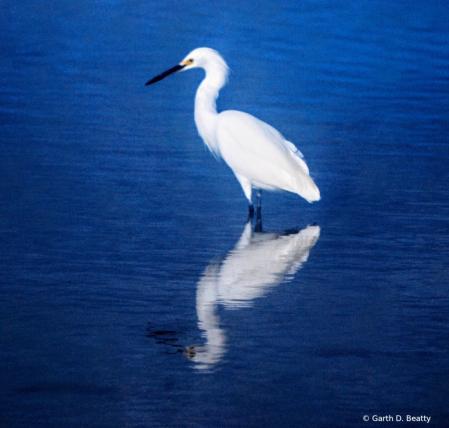 Egret in Florida Tidal Pool