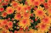 Orange Fall Beaut...