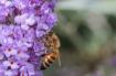 Autumn Honey Bee