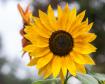 Say, a Sunflower