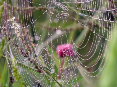 Web Over Pink Flower