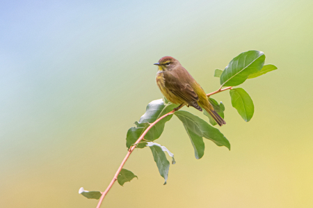 Sceptacle Palm Warbler