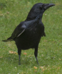 English crow!