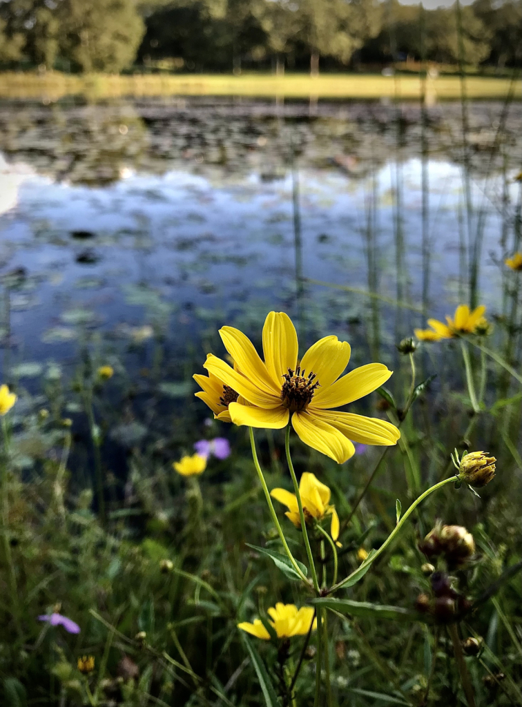 Golden Blossom  - ID: 15953145 © Elizabeth A. Marker