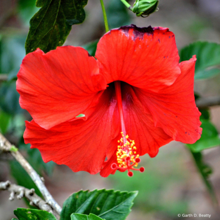 Hibiscus the State Flower of Hawaii